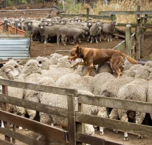 kelpie-working-sheep
